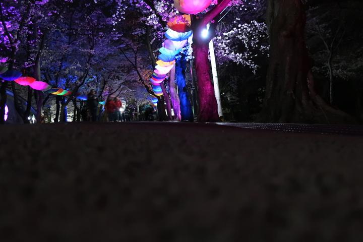 도당산 벚꽃길