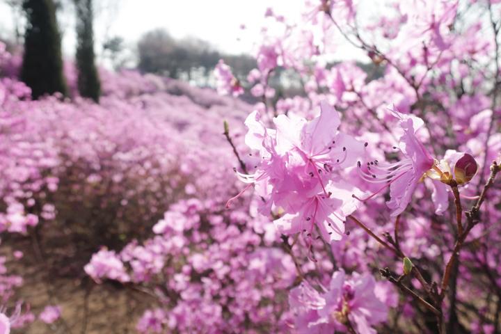 4월 중순 진달래 꽃이 절정이다