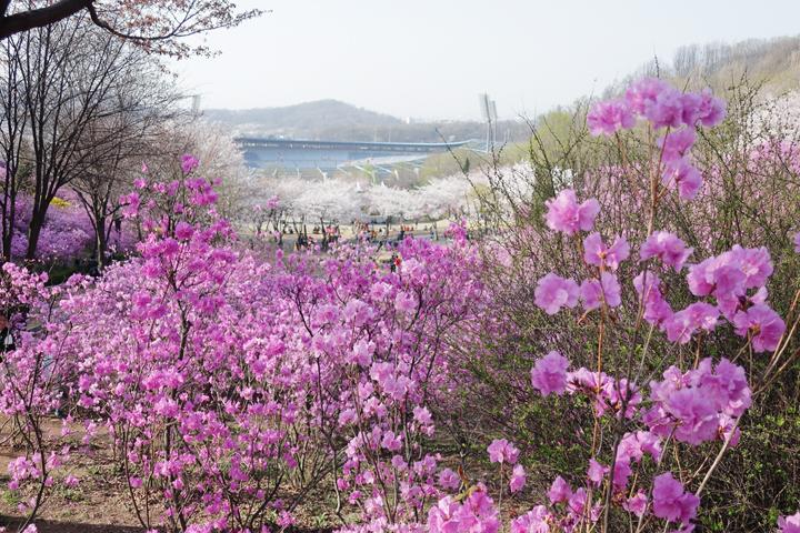 진달래 동산의 봄