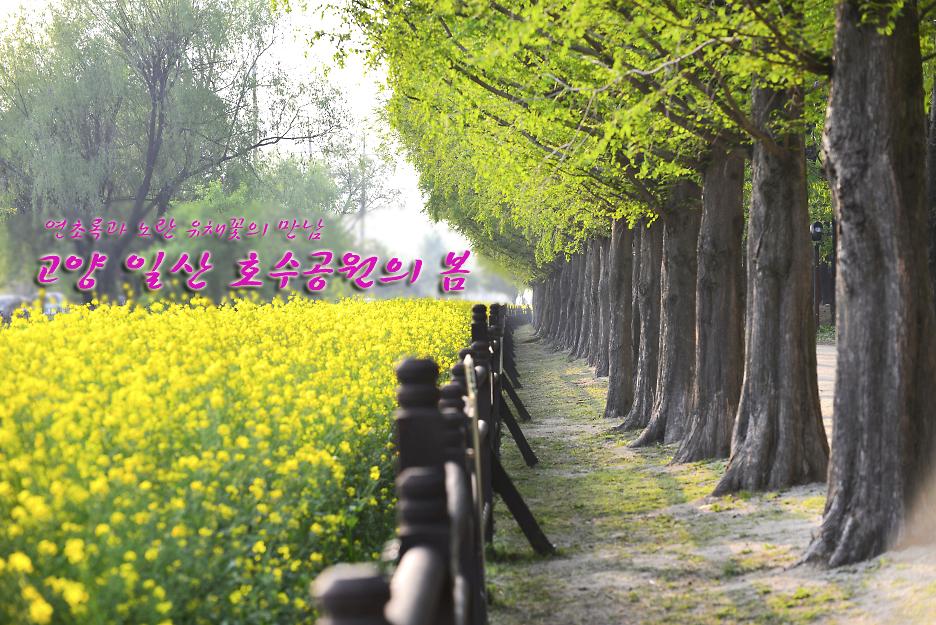2017.4.30 노란 유채꽃 고양일산호수공원