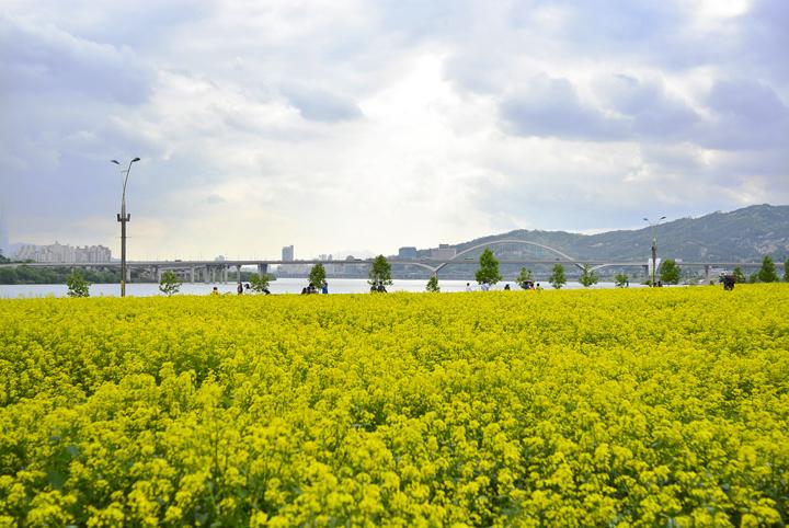 2017년 유채꽃밭