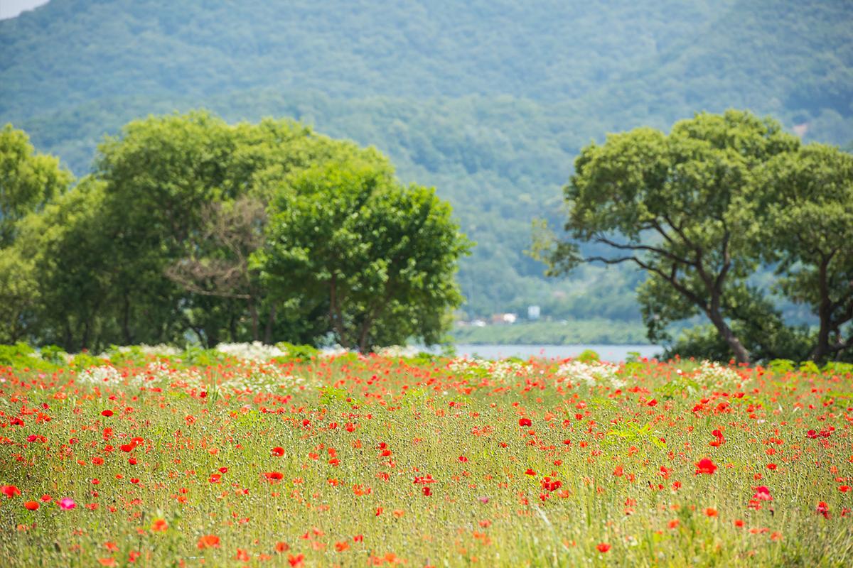 양귀비꽃 색색이 있는 정원