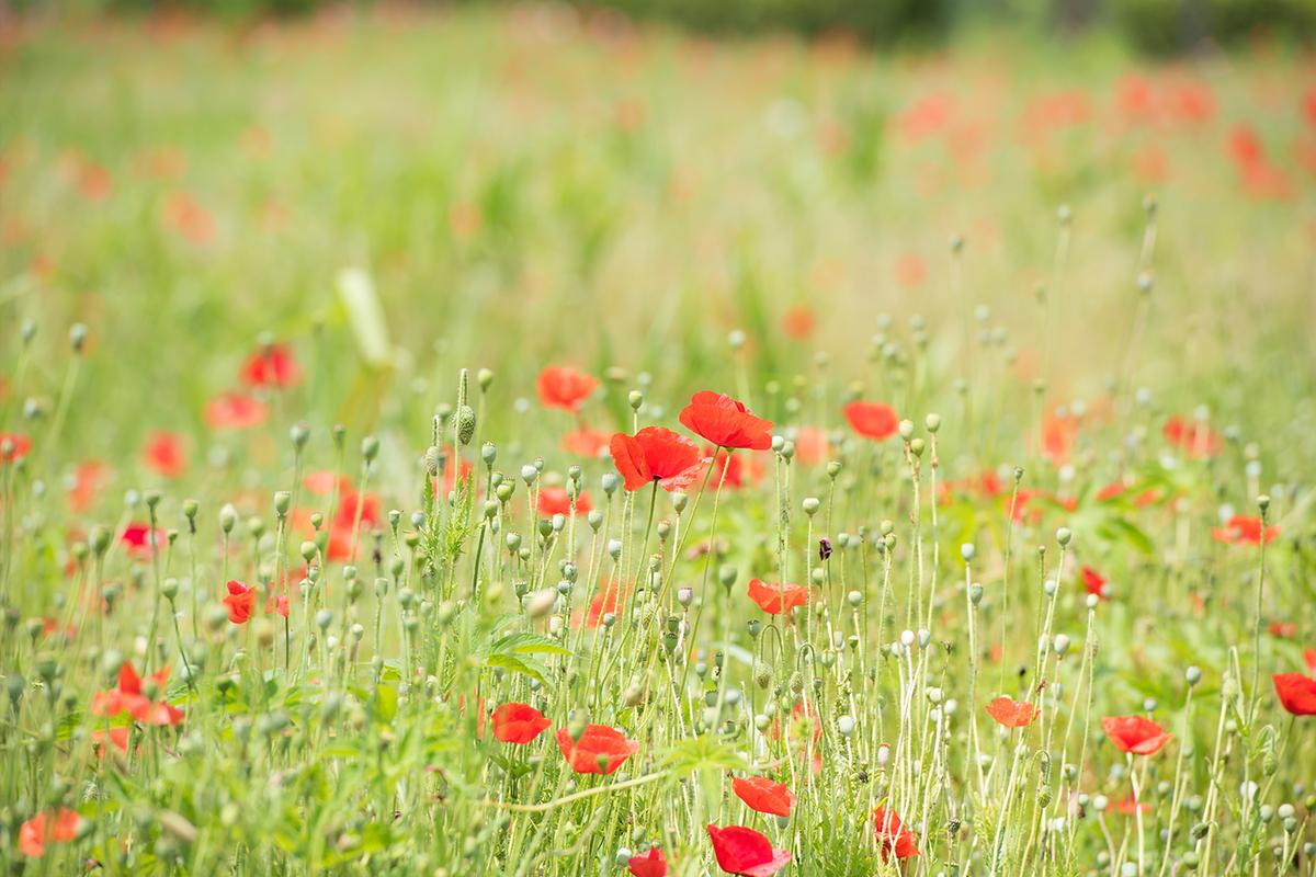 양귀비꽃이 있는 풀꽃