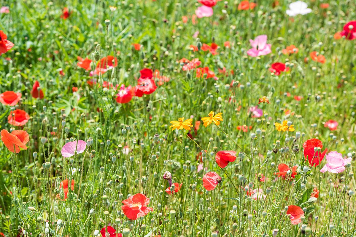 색색의 양귀비꽃들