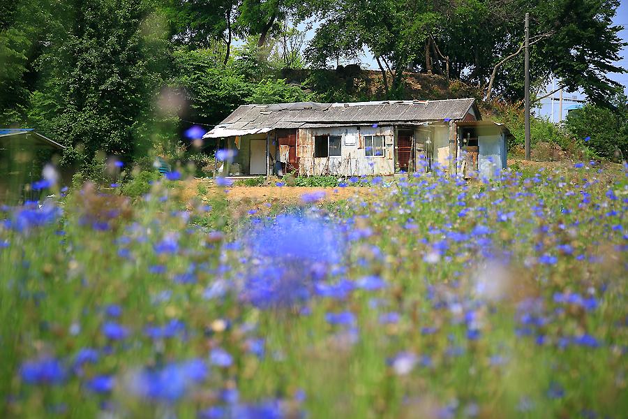 푸른빛의 수레국화 뒤로 보이는 오래된 집