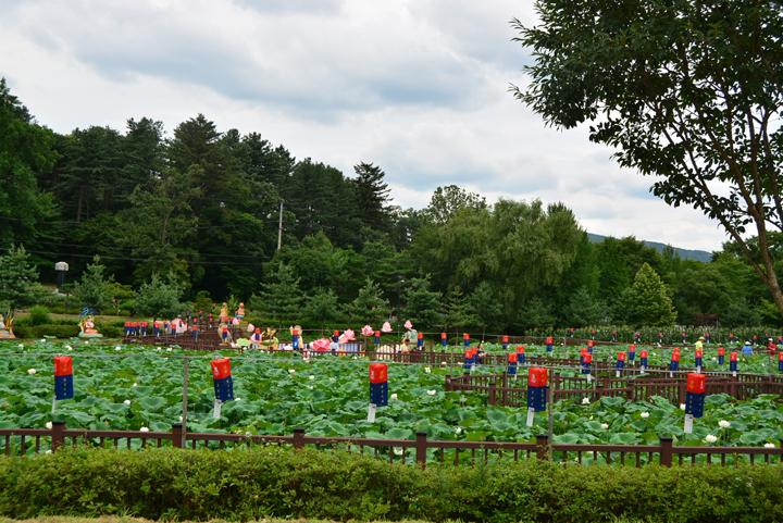 봉선사 연꽃축제 연꽃밭