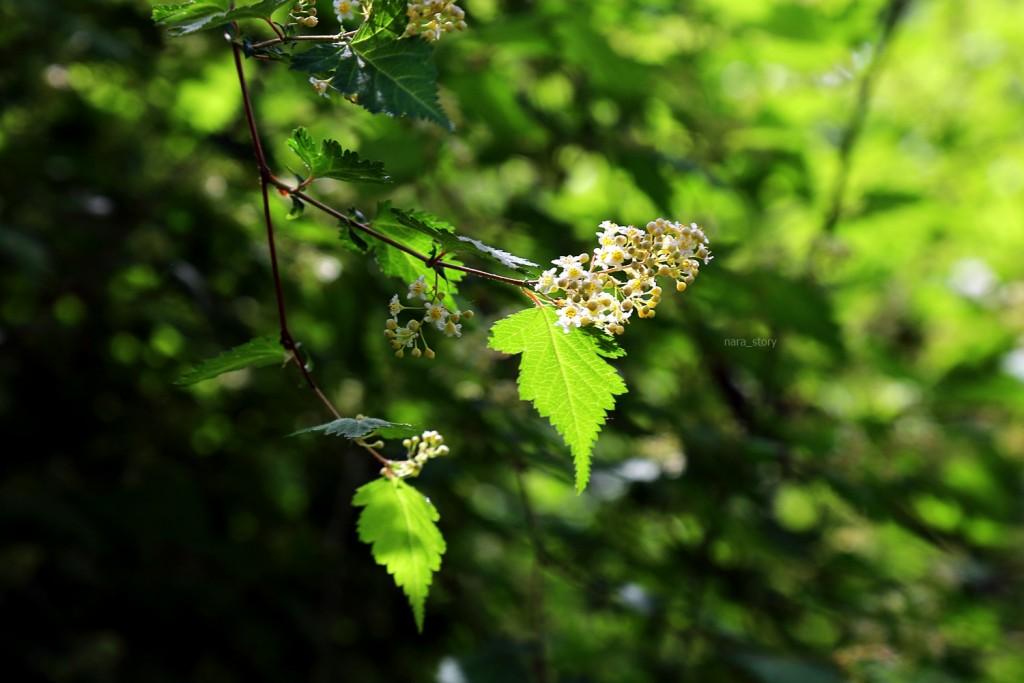 국수나무꽃