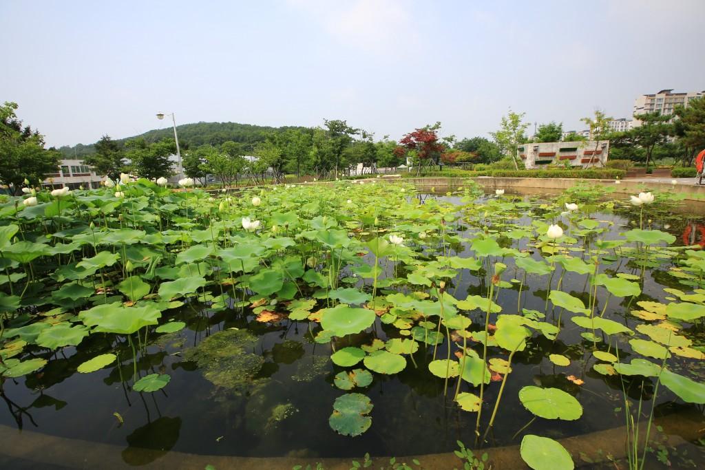 연못에 피어나는 연꽃들