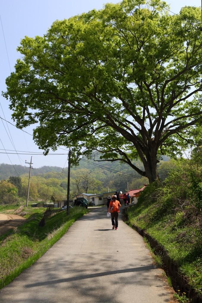 큰 나무가 있는 영남길 제 10길 이천옛길을 걷는 사람
