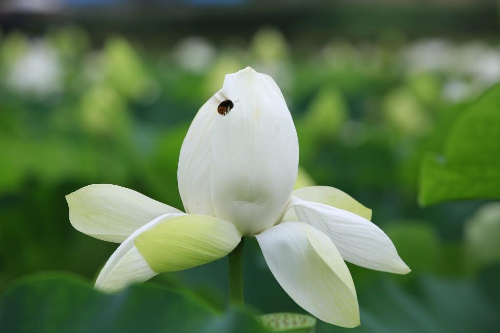 흰 연꽃과 무당벌레