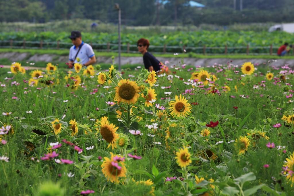 해바라기 꽃밭과 사람들