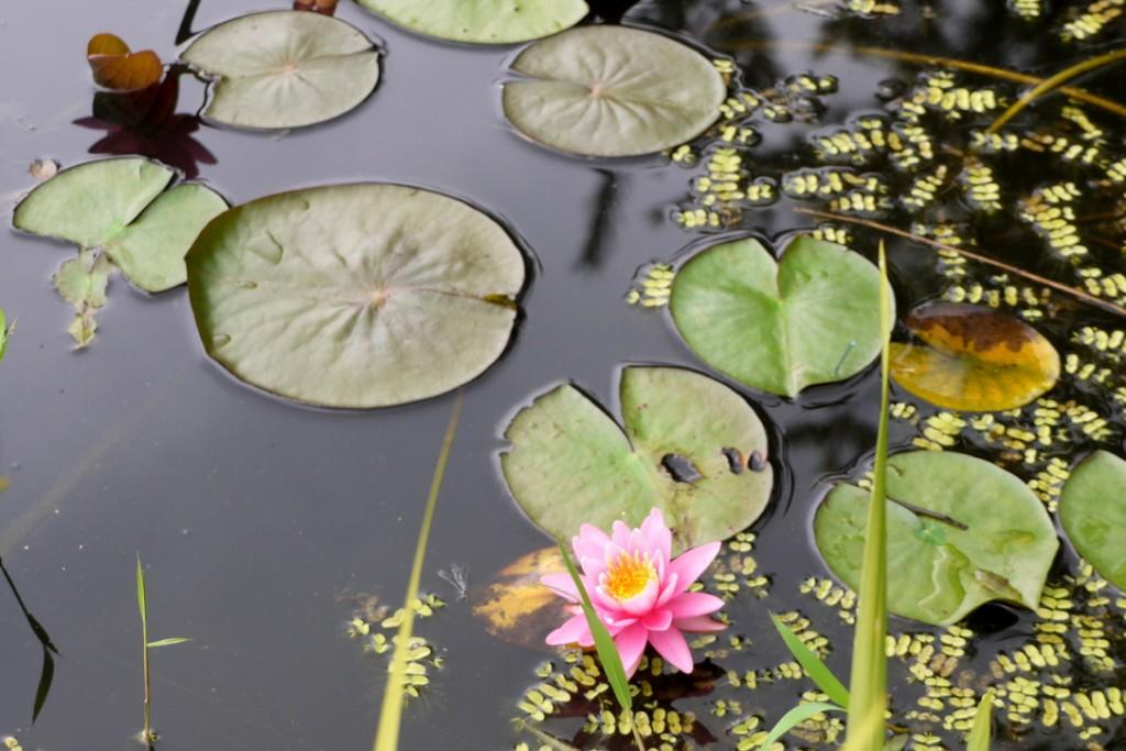연못에 핀 홍련