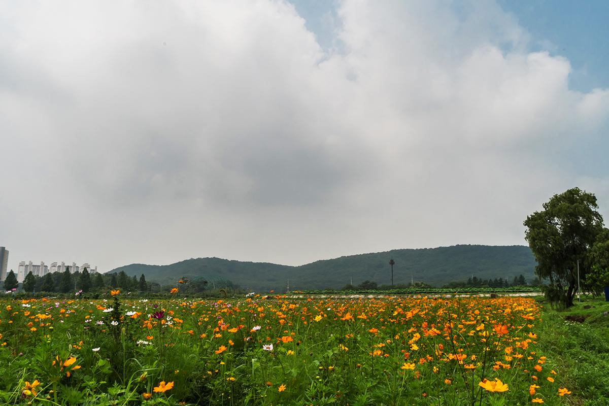 코스모스밭 풍경