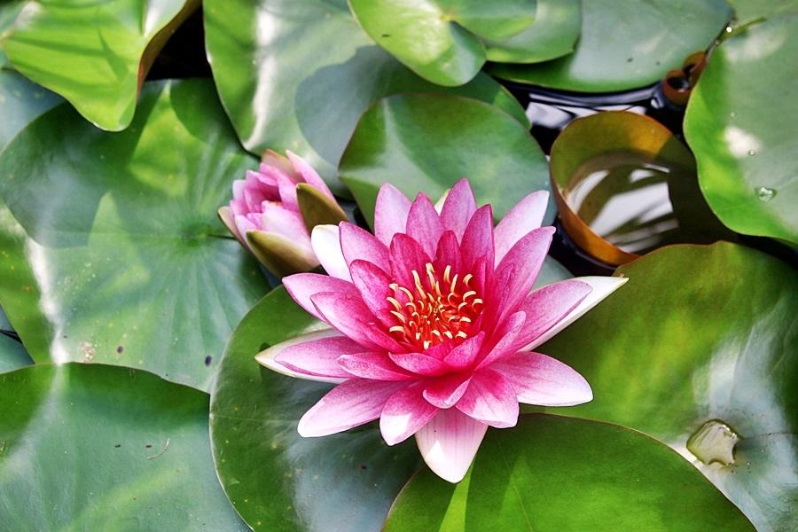 분홍색 연꽃