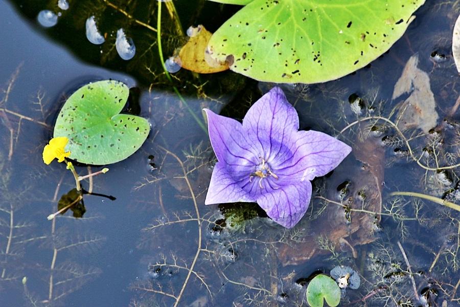 연못에 떨어진 보라색 꽃