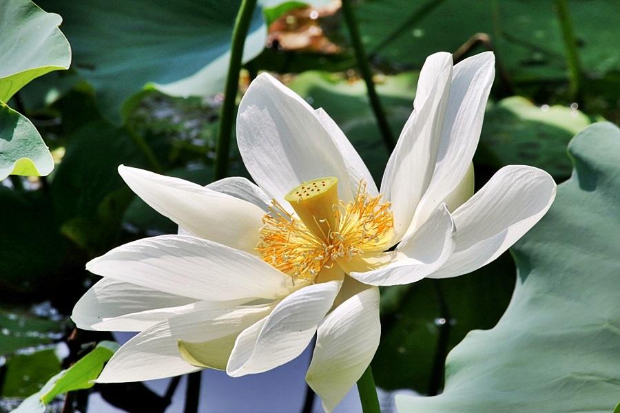 흰색 연꽃