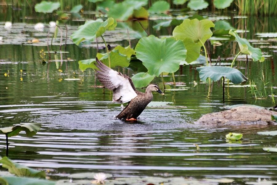 연못에서 날개짓하는 오리