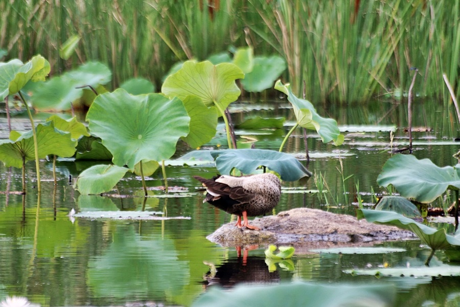 연못의 오리