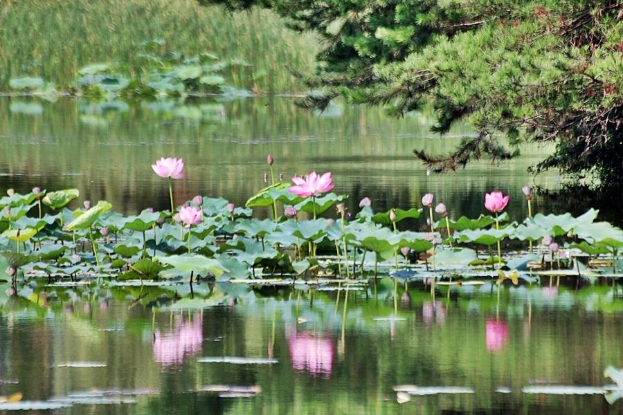 연못이 피어난 연꽃