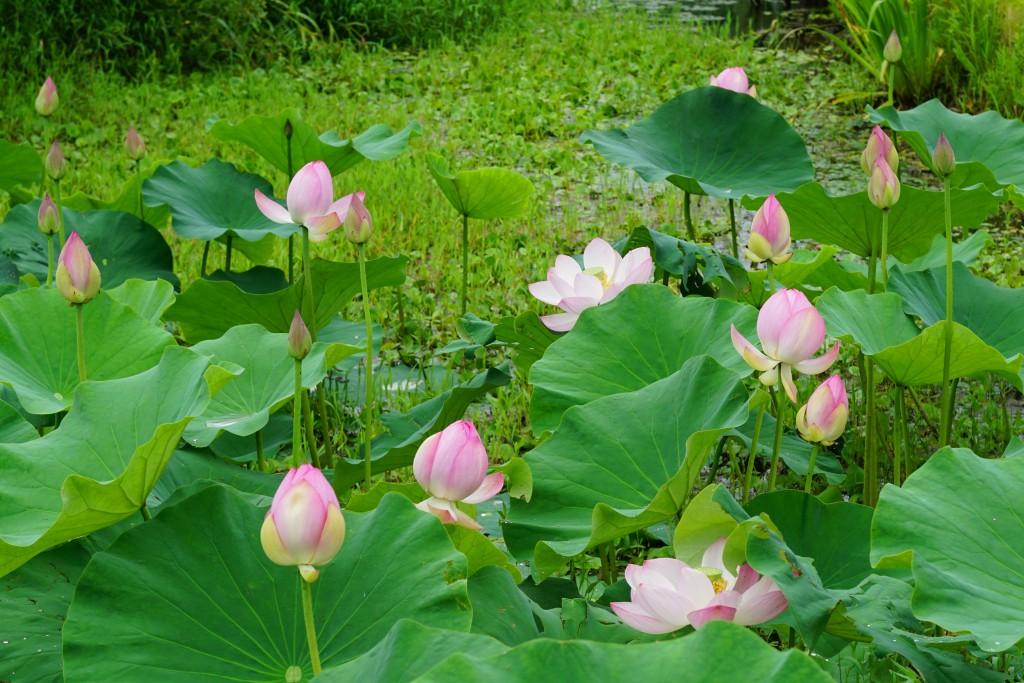 연못에 피어난 연꽃들