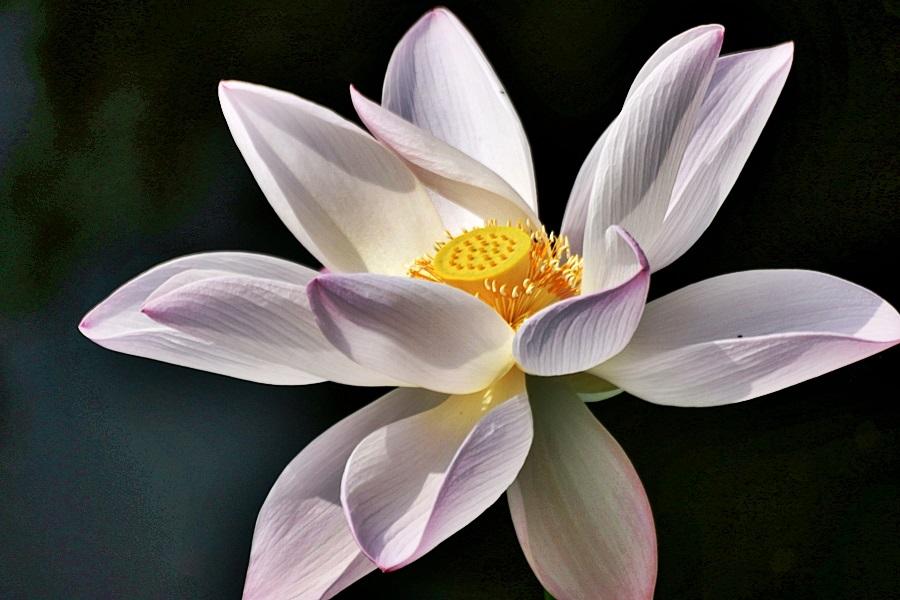 가까이서 찍은 연꽃