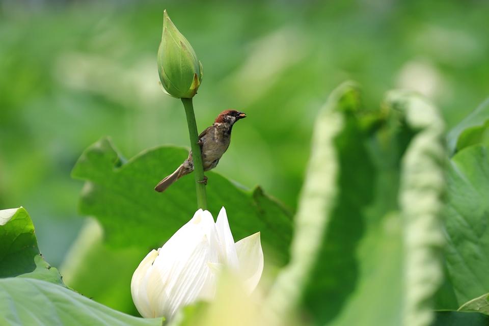 연꽃과 가물치