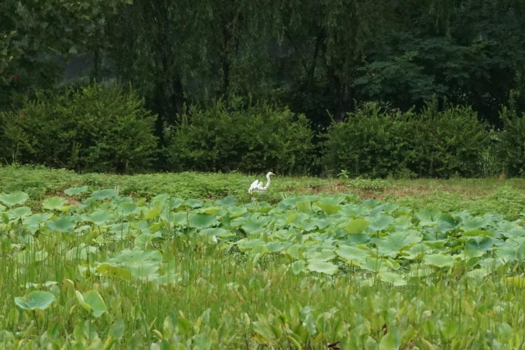 연못의 백로