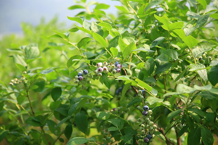 블루베리 열매