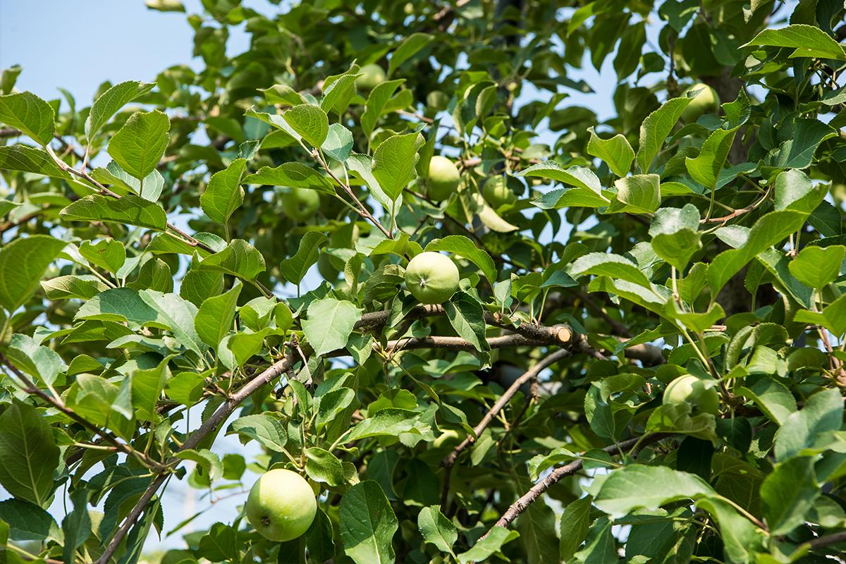 사과가 열린 모습