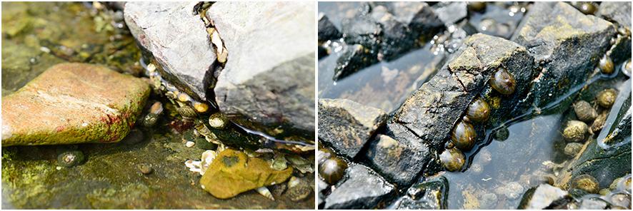 삿갓 조개 울타리고둥 눈알고둥 등 가까이 다가가 바위틈에 붙어 있는 바다생물 관찰/딱딱한 껍질 없이 투명하고 말랑말랑한 담황줄말미잘(오른쪽)