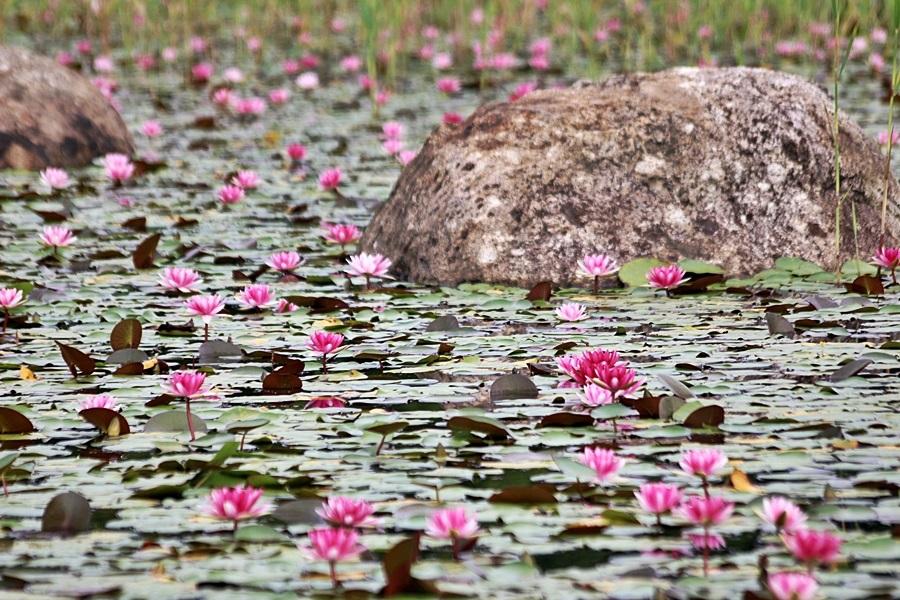 연못에 피어난 분홍 연꽃들