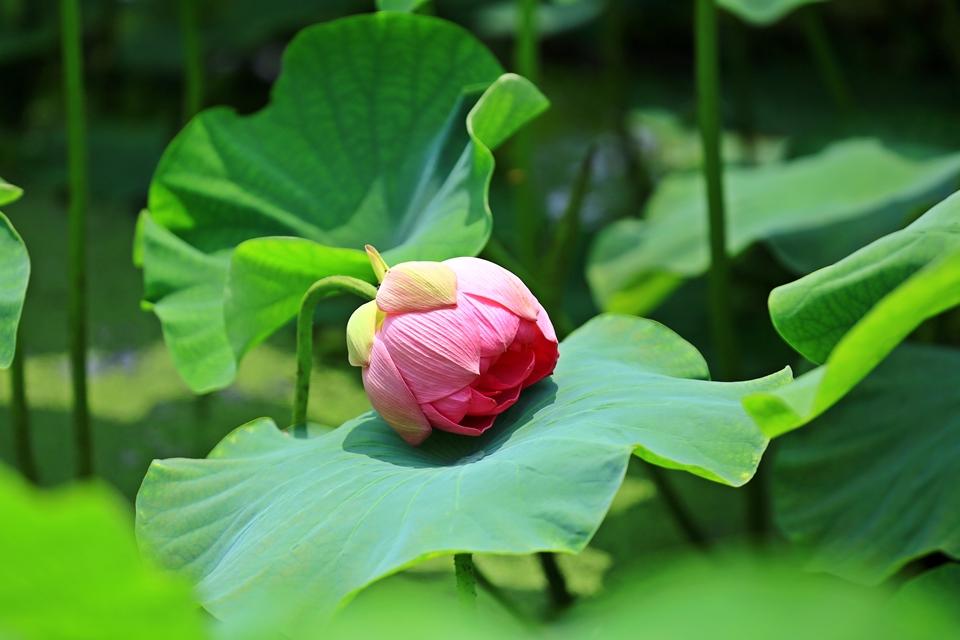 물가로 고개를 숙인 연꽃