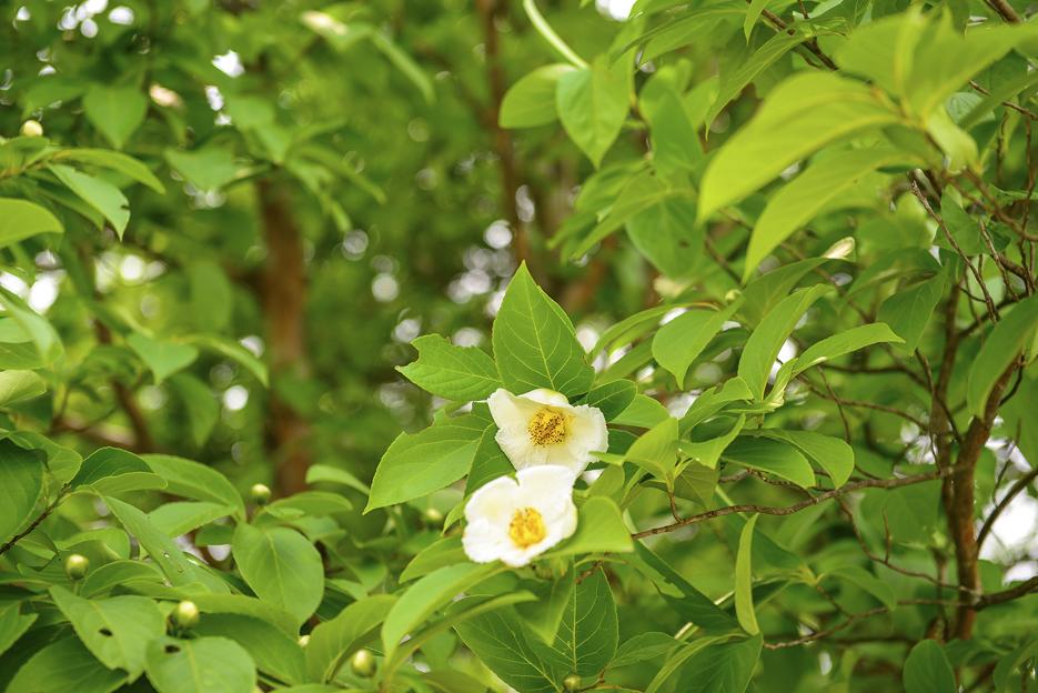 노각나무 꽃