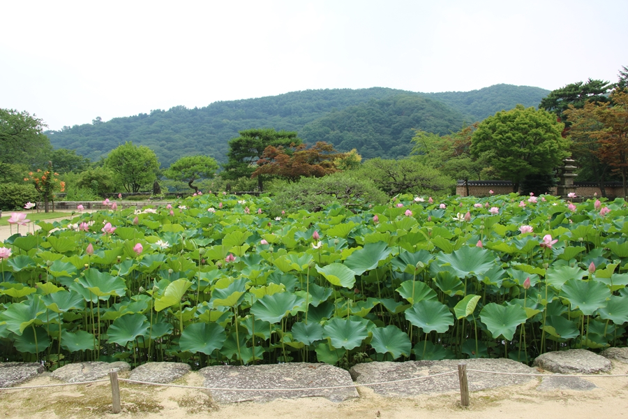 연꽃이 가득한 연못
