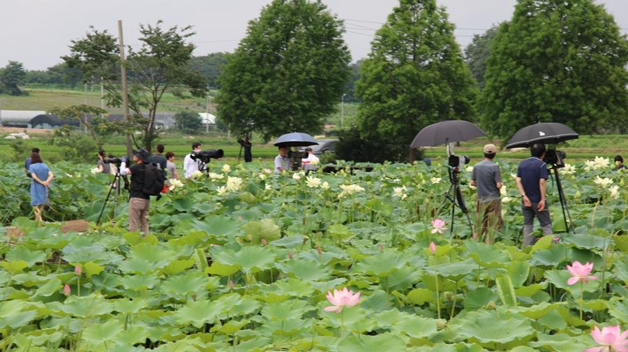 연꽃을 구경하고 촬영하는 사람들
