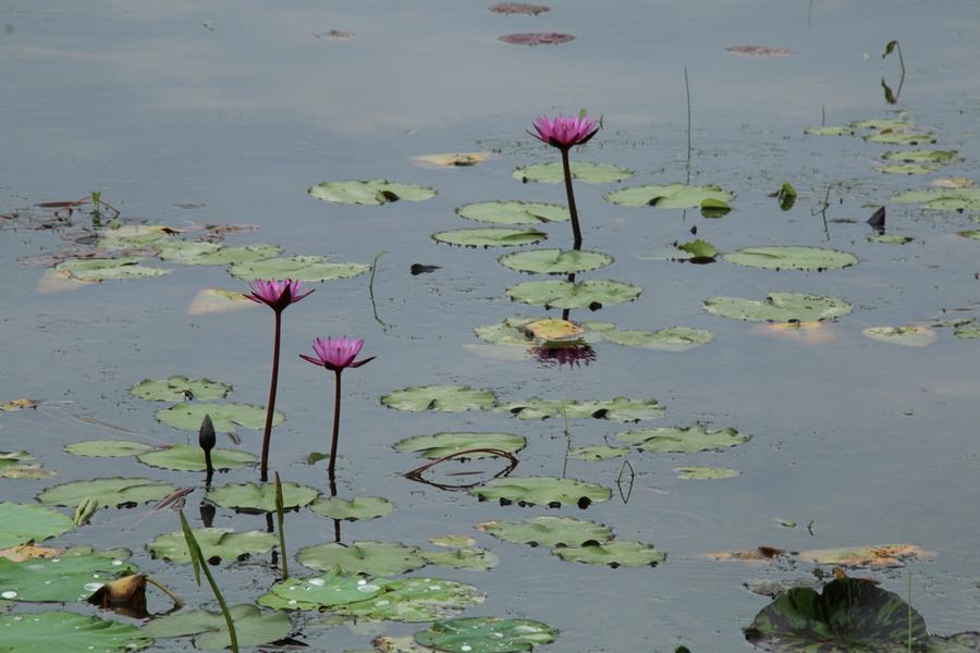 연못의 연꽃