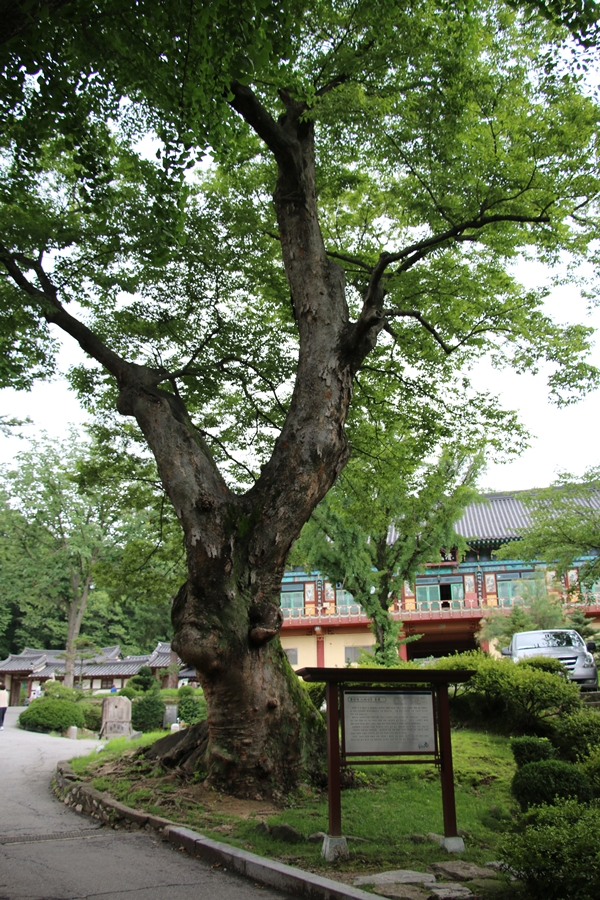 500년 된 느티나무