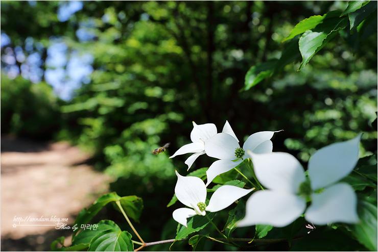 산딸나무꽃