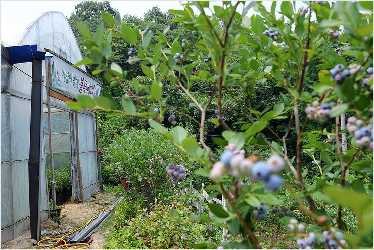 건강한열매 블루베리 비닐하우스와 블루베리