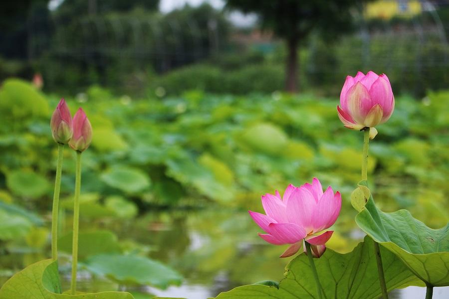 홍련들이 핀 연못