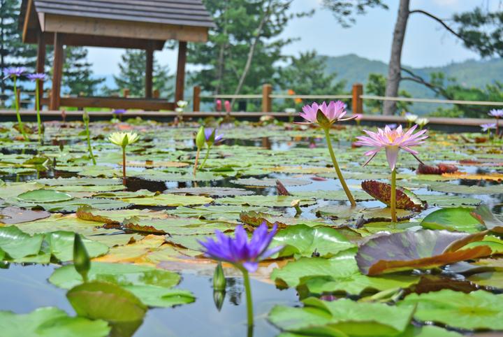 연못의 연꽃들