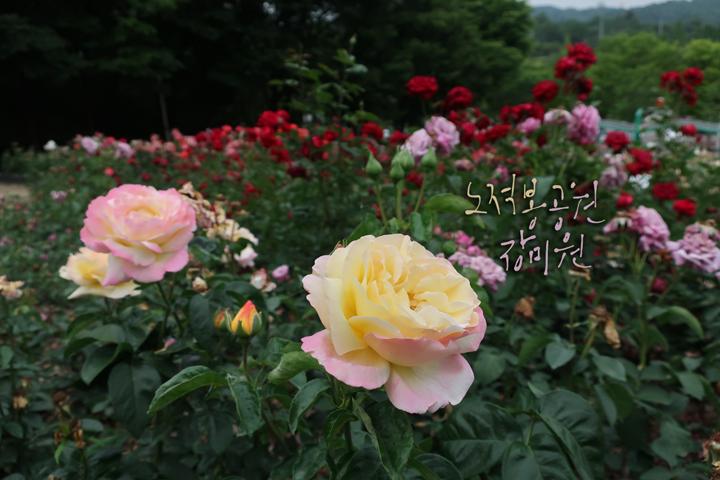 노적봉공원 장미원