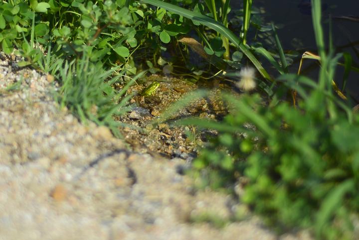 연꽃밭의 개구리