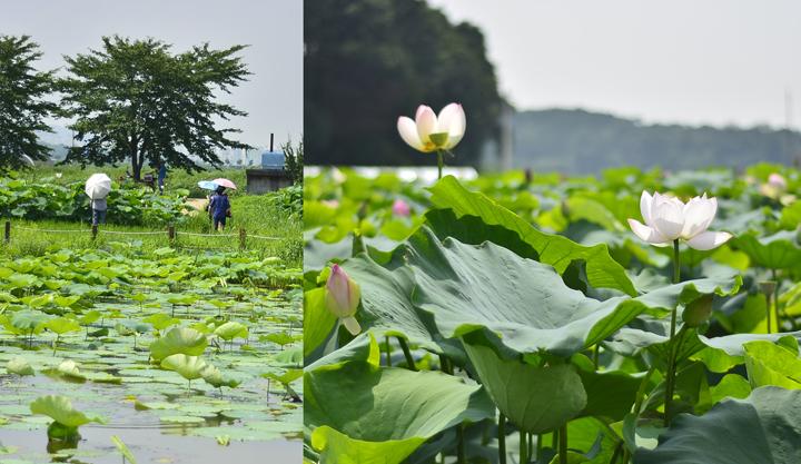 7월의 연꽃테마파크