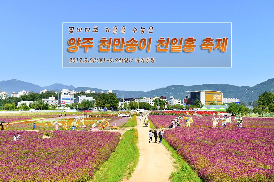[경기도/양주시] 꽃바다로 가을을 수놓은 양주 천만 송이 천일홍 축제