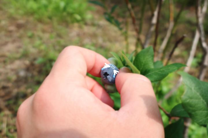 블루베리 수확