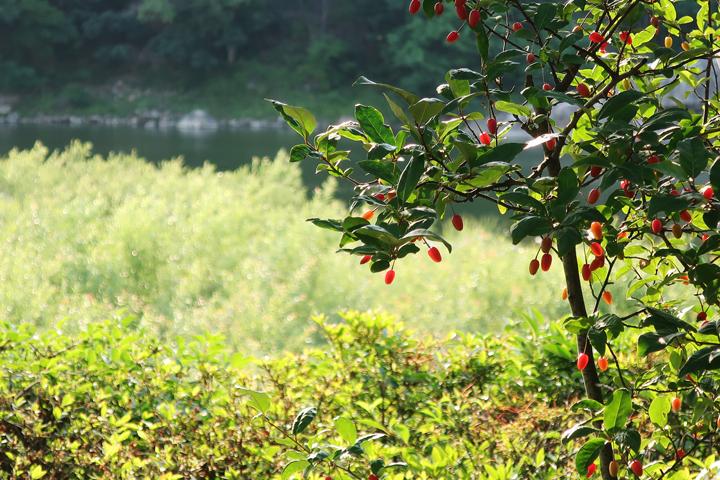보리수 열매