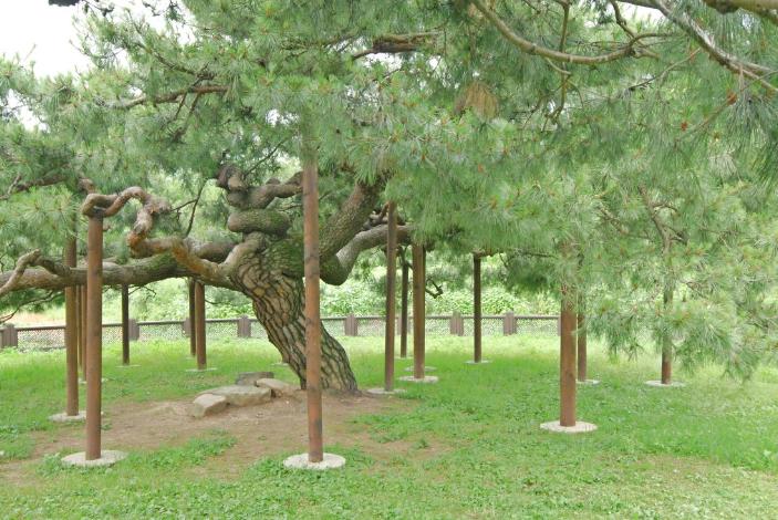 Ballyongsong Pine Tree