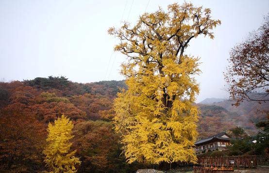 Gingko Tree of Yongmunsa Temple
