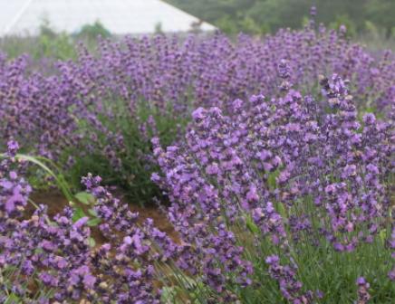Herb Enjoy Lavender Farm2